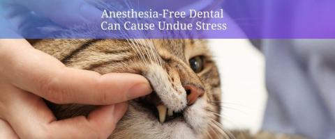 anesthesia-free cat dental