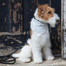 Wire Fox Terrier Dog Breed Info