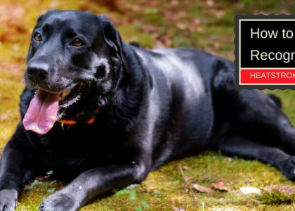 How to Recognize Heatstroke in Your Dog